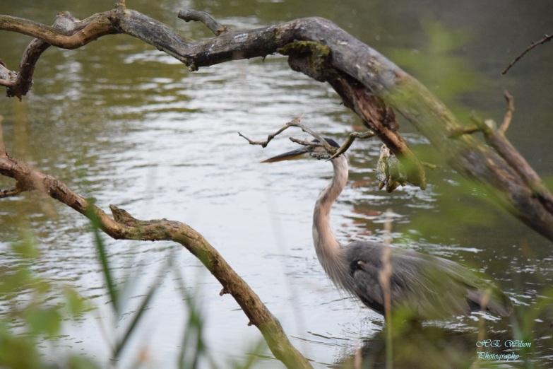 Grey Heron stalking through the weeds