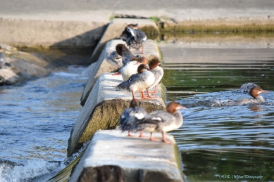 A group of female Mergansers