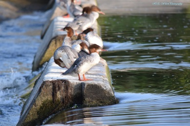 A group of female Mergansers